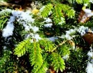 Īrijā aktivizējušies Ziemassvētku eglīšu zagļi