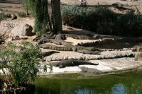 Īrijā dzīvojošais A. Andersons attīsta krokodilu biznesu