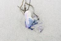 Rietumu piekrastes pludmalēs izskalotas indīgas medūzas