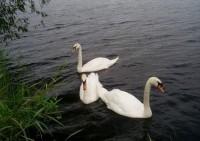 Īrijā atklāts putnu gripas saslimšanas gadījums