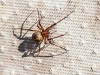 Īrijā būtiski palielinājies indīgu zirnekļu skaits