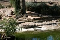 Longfordā kādā šķūnītī aiz mājas dzīvo krokodils