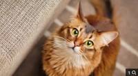 Kaķu īpašnieki, sargājiet savus mīluļus no antifrīza!