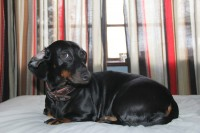 Suņu īpašniekiem iesaka uzmanīt savus mīluļus